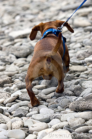 Dachshund Rear View