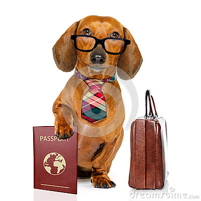 Free Dachshund Sausage Dog On Business Trip Stock Photography - 88788482