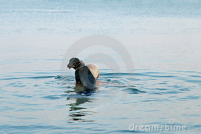Dachshund in the sea