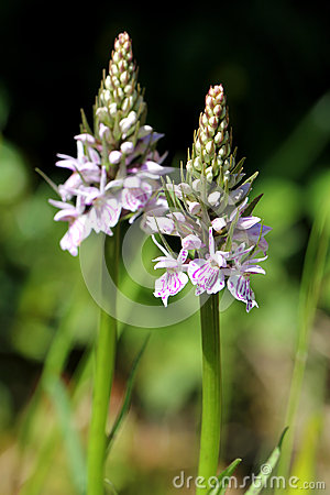 Dactylorhiza maculata, Heath spotted orchid