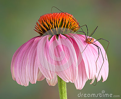 Daddy long legs on cone flower