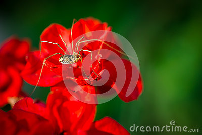 Daddy Long Legs on Red Flower