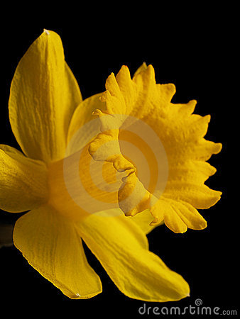 Free Daffodil Stock Photography - 18562382