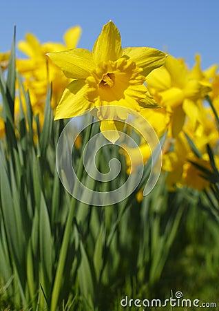 Free Daffodil Royalty Free Stock Image - 18923586