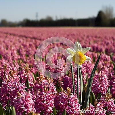 Free Daffodil Stock Image - 2343661