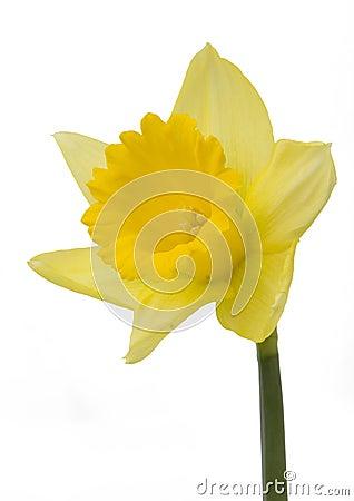 Free Daffodil Stock Image - 476821