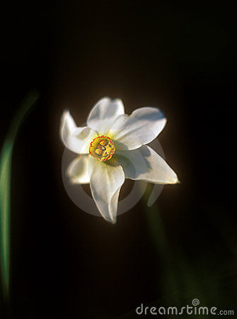 Daffodil on black background.