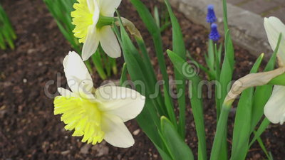 Daffodil di fioritura archivi video