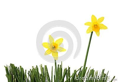 Daffodil-duo