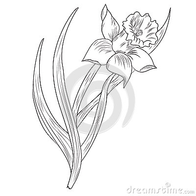 Daffodil flower or narcissus isolated on white stock vector image 41786525 - Dessin jonquille ...