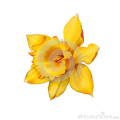 Free Daffodil Flower Or Narcissus Isolated On White Stock Image - 51249601