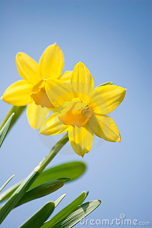 Free Daffodil Flowers Royalty Free Stock Images - 13647049