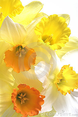 Free Daffodil Flowers Royalty Free Stock Photo - 4551975