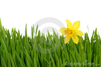 Daffodil in the green grass