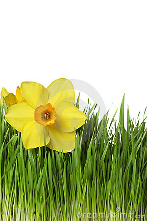 Daffodil on green grass