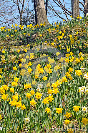 Daffodil HIll Stock Photo