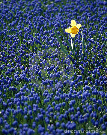 Daffodil in hyacinth field