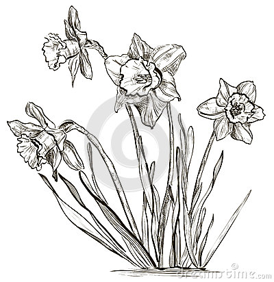 Daffodil kwiat lub narcyza kwiat ilustracja wektor obraz - Dessin jonquille fleur ...
