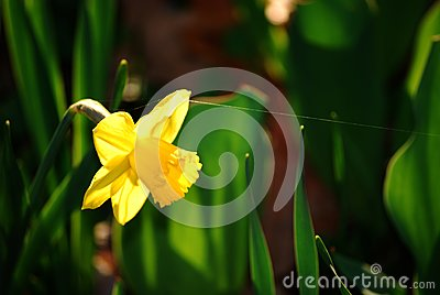 Daffodil and Spider s Snare