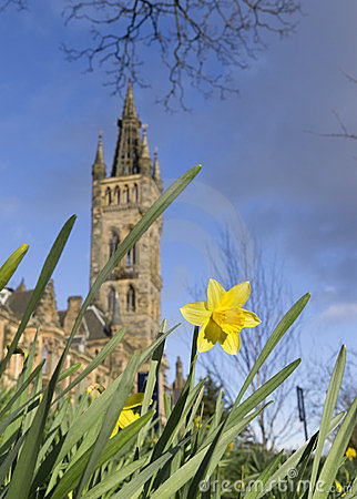 Daffodil in Spring near Glasgow University