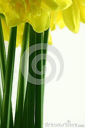 Daffodil stems