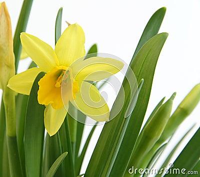 Daffodil on white