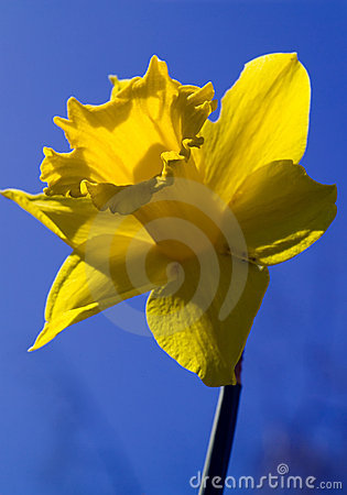 Free Daffodil, With Path Royalty Free Stock Image - 973386
