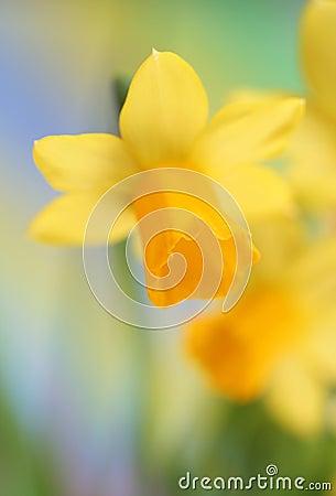 Free Daffodils Royalty Free Stock Photo - 13044745