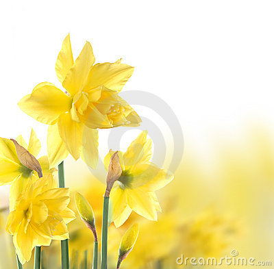 Free Daffodils Royalty Free Stock Images - 14065259