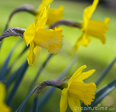 Free Daffodils Stock Photography - 14730502
