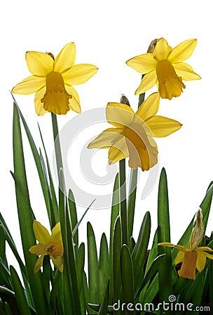 Free Daffodils Stock Photos - 1979493