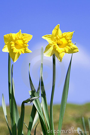 Free Daffodils Royalty Free Stock Photos - 2221228