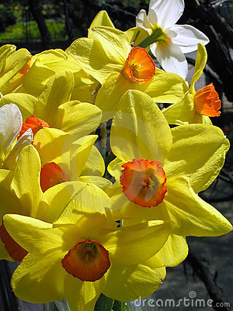 Free Daffodils 3 Stock Images - 691764