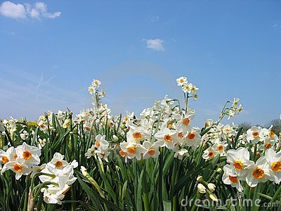 Daffodils Royalty Free Stock Photography - Image: 92777