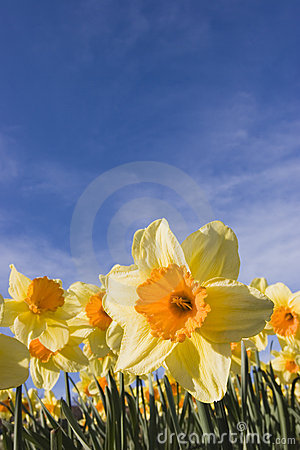 Free Daffodils Against Blue Sky Stock Photos - 2225353