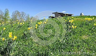 Daffodils hill