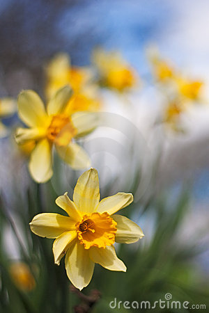Free Daffodils In A Row With Short Depth Of Field Stock Photo - 14341870
