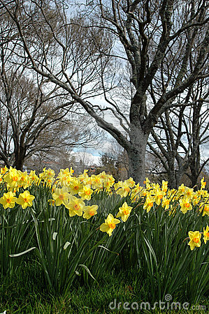 Free Daffodils In Spring Stock Photo - 1209840