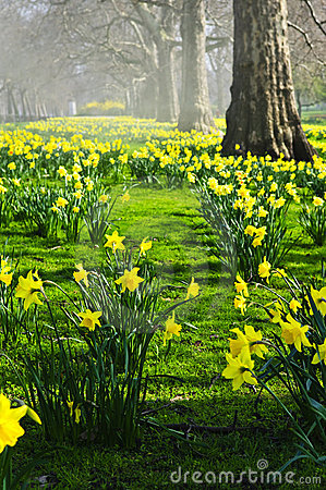 Free Daffodils In St. James S Park Stock Images - 11318594