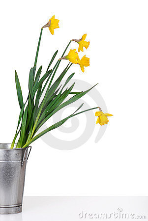 Daffodils in a metal bucket