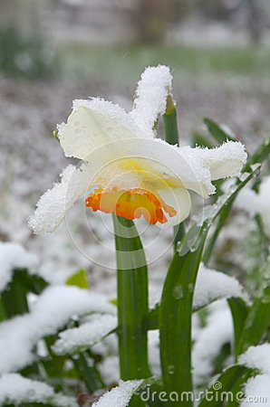 Free Daffodils Under Snow -  Anomaly Royalty Free Stock Images - 90993599