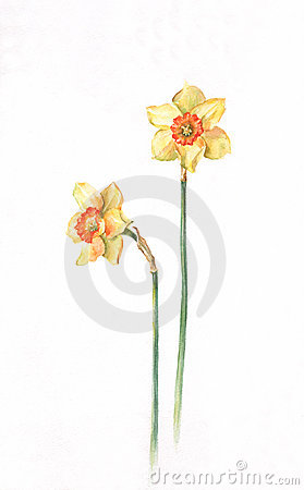 Free Daffodils Watercolor Painting Stock Image - 4852771