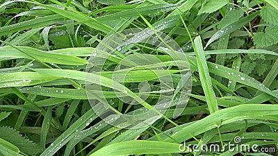 dagg tappar ny gräsgreen stock video