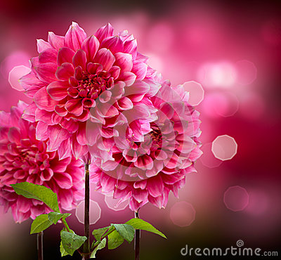 Free Dahlia Autumn Flowers Royalty Free Stock Image - 26968896