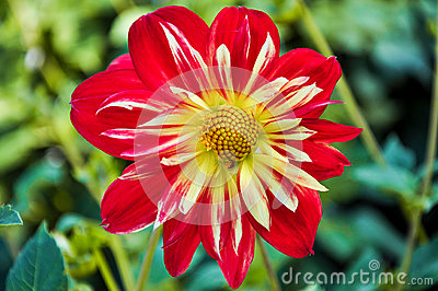 Dahlia bloom Stock Photo