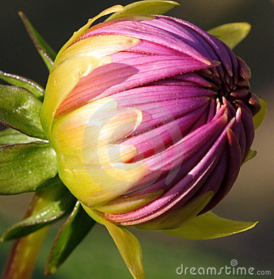 Dahlia Bud Close-Up