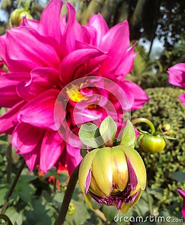 Dahlia with buds