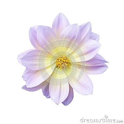 Free Dahlia Flower Stock Photo - 44735070