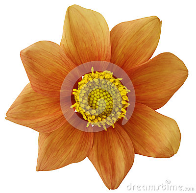 Free Dahlia Flower  Orange, White Isolated Background With Clipping Path.   Closeup.  No Shadows.  For Design. Eight Petals. Stock Image - 85400721