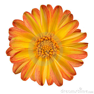 Free Dahlia Flower With Orange Yellow Petals Isolated Stock Image - 22465351